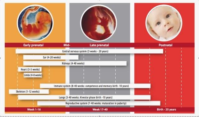 Periodos del desarrollo fetal e infancia más sensibles a la exposición de los EDC's según la OMS.